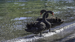 Black Swans (- Jan van Dijk) Tags: taupo waikato newzealand nz blackswans swan blackswan zwartezwaan zwaan vogel laketaupo cisnenegro cygnusatratus cygnenoir schwarzerschwan