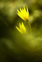 ... I am Yellow  ... (Device66.) Tags: tulipanesilvestres nikon yellow macro loveit device
