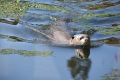 Giant Otter (Pteronura brasiliensis) (Seventh Heaven Photography) Tags: giant otter pteronurabrasiliensis pteronura brasiliensis river mammal animal mustelidae water