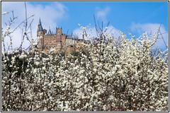 Burg Hohenzollern überm Blütenmeer (_Asphaltmann_) Tags: pentax pentaxlife pentaxians photosunlimted pentaxart pentaxk3 pentaxda dahd1685mmf3556eddcwr hdpentaxda1685mmf3556eddcwr badenwürttemberg badenwuerttemberg burghohenzollern