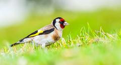 _DSC8632.jpg (David Hamments) Tags: bird birdsofnewzealand newzealand 80400 europeangoldfinch mount ngc flickrunitedaward