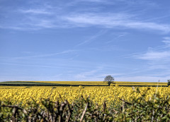 Canola near Winchester (neilalderney123) Tags: ©2017neilhoward canola rapeseed landscape yellow tree winchester olympus flowers