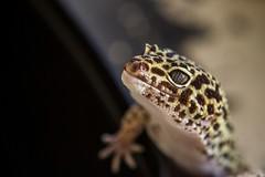 George (muriloribas) Tags: leopardgecko gecko pet george