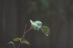 Rainy Leaf (Jon Cartledge) Tags: flowers flowersplants macro bokeh depthoffield dof leafs leaves plants smooth soft warm fuji xe1 fujifilm konica hexanon m