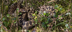 Male Adders on Sunday :-) (Andy & Helen :-) :)) Tags: adder male snake cannockchase staffordshire canon helenholt wild heathland viperaberus venomous europeanviper beautiful native british herp reptile