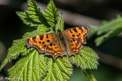Gehakkelde aurelia vlinder - Butterfly (CapMarcel) Tags: gehakkelde aurelia vlinder butterfly nikon d500