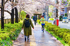 Cherry Blossoms in The Meguro River : 目黒川の桜 (Dakiny) Tags: 2017 spring april japan tokyo meguro meguroward city street outdoor river meguroriver park landscape people plant tree flower cherry blossom cherryblossom someiyoshino yoshino nikon d7000 sigma 1770mm f284 dc macro os hsm sigma1770mmf284dcmacrooshsm nikonclubit