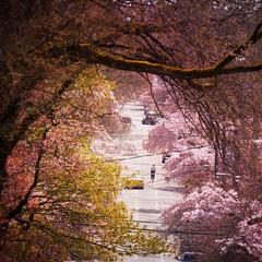 Sakura series (Nick Kenrick..) Tags: sakura blossoms fisgardstreet chinatown