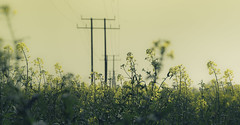 Powered up (Coisroux) Tags: oil powelines masts linear fields golden landscapes pov skyline napus oilseed flowers summertime goldenfields plants farmers farcet cambridgeshire geometry engineering intothedistance perspective serene hues details softness powerlines brassica d5500 nikond