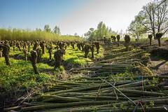 Biesbosch (Pieter Mooij) Tags: dordrecht zuidholland nederland nl biesbosch willows wilgen knotwilgen wilgenbosch hout wilgentenen wilgetenen