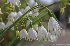 lenteklokjes (LadyLove1967) Tags: denhaag vlinder auto bloemen zwaan bomen planten