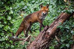 Fox 1 (mond.raymond1904) Tags: fox dodder river dubin ireland