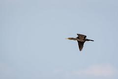Running late (malc1702) Tags: cormorant birds largebirds migratorybirds migration nature birdphotography nikond7100 tamron150600 wildlife animals birdinflight flight bluesky