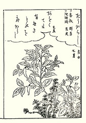 Chili pepper (Japanese Flower and Bird Art) Tags: flower chili pepper capsicum annuum solanaceae shunsen ooka kano woodblock picture book japan japanese art readercollection
