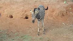 Baby Zebra (Rckr88) Tags: johannesburgzoo southafrica johannesburg zoo south africa zoos animal animals gauteng nature travel wildlife outdoors baby zebra babyzebra zebras babyanimal babyanimals
