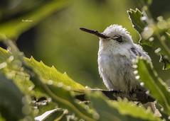 Leucistic hummingbirds (Anishkumar Sugumaran) Tags: leucistic hummingbirds rare birds birdsworld hummingbird white green nature natur natural mothernature pigmentation santacruz california light tree ngc flicker canon tamron exposure