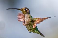 Magnificent  Hummingbird, female ((Eugenes fulgens), Costa RIca (Lassetjus photo) Tags: copey provinciadecartago costarica cr hummingbird quetzalparadiselodge hummer nikond500 200500