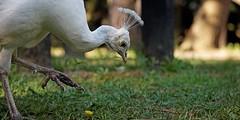 IMG_9889 Careful step (Rodolfo Frino) Tags: nature natura natur natural naturaleza bird ave fauna animal closeup beauty naturalbeauty naturesbeauty wild