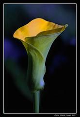 Calla (cienne45) Tags: flickrdiamond calla flowers