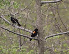 Red Winged Blackbirds (gmorient1@aol.com) Tags: birds centralpark newyork springmigration