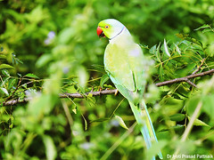 Rose_ringed_parakeet_01 (Jyotiprasads) Tags: birds commonbirds birdsofodisha odishabirds
