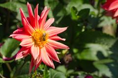 DSC_7629 (sir.yoga) Tags: flowers bratsk easternsiberia
