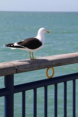 """Seabird • <a style=""""font-size:0.8em;"""" href=""""http://www.flickr.com/photos/27717602@N03/14982049274/"""" target=""""_blank"""">View on Flickr</a>"""