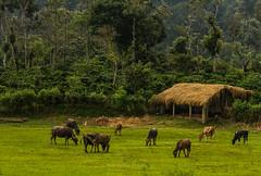 Coorg Cows (Kalidas Pavithran) Tags: nature karnataka coorg