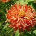 Greenbeltnotfurtherspecified, oneplant, zinnia elegans orange, jdy276 XX200610035684.jpg