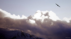 soaring over the storm (patrickgkelly) Tags: sky mountain snow storm bird clouds fly wind