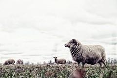 protector of the herd! (googlit) Tags: ohio sheep farm pasture delaware ram livestock stratford stratfordecologicalcenter