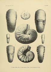 palaeontographic21cass_0351 (kreidefossilien) Tags: germany publicdomain cretaceous monograph cephalopoda schlter ammonitida belemenitida