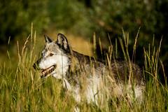 wolf (Sam Scholes) Tags: travel vacation animal animals wolf unitedstates wildlife roadtrip idaho rexburg yellowstonebearworld yellowstonewildlifeadventurepark