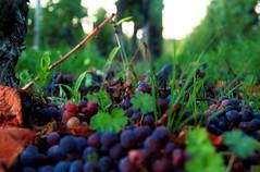 grape harvest (Popiart) Tags: wine grapes uva vino uvas vendimia popiart