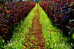 Vinyes de Tardor d'Aiguaviva, Montmell, Baix Penedès. (Angela Llop) Tags: fall landscape spain eu catalonia vineyards penedes viñedos vinyes vitisvinifera tourismuspenedes