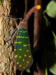 Lantern Bug (Laternaria intricata) (berniedup) Tags: sarawak malaysia borneo mulu taxonomy:binomial=laternariaintricata laternariaintricata