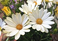 Happy Daisies, Adelaide_0183 (Rikx) Tags: flowers white green sunshine yellow daisies garden happy gold spring lavender australia adelaide flowerpot southaustralia 3f photostream musictomyeyes homegarden whitedaisies