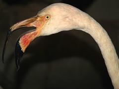 flamingo greater ruber phoenicopterus