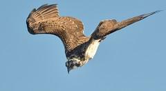Diving Osprey... (KingGuardian) Tags: nature birds wildlife ngc osprey naturelovers nikond7100 nikon70300mmf4556afs
