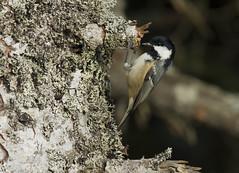 Msange noire (JeanJoachim) Tags: bird oiseau passeriformes periparusater parusater paridae msangenoire lemourtis pentaxk5iis