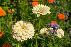 DSC_7557 (sir.yoga) Tags: flowers bratsk easternsiberia