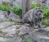 Uncia uncia , Snow Leopard (Timo Halonen) Tags: animal zoo sony cage snowleopard korkeasaari uncia dsch3 lumileopardi