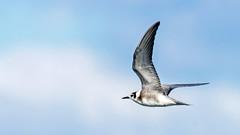 IMGP62026_BLTE_1605_InFlight (davesofnj1729) Tags: bird forsythe blte