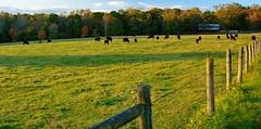 Autumn evening on Elkton Farm Rd. 1 (lady_with_thread) Tags: autumn nature fence landscapes cows farmland pasture nikond300