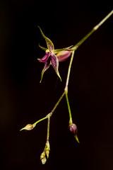 Platystele sp. (PenduSeb - 2670m) Tags: santander orquideas platystele labelleza