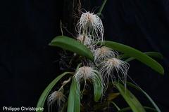 Bulbophyllum medusae (ban-soraya) Tags: bulbophyllum medusae