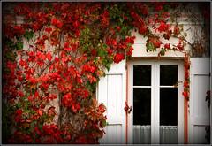 Les couleurs de l'automne... (LILI 296.....!!!) Tags: france automne rouge maison fentre vigne rideau hautegaronne midipyrnes volet lunion canoneos450d