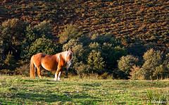 pottoka horse staring (Mimadeo) Tags: horse field animal landscape spain looking breed staring livestock basque euskadi basquecountry paisvasco equine pottok pottoka