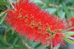 Red (ivlys) Tags: flowers autumn nature herbst blumen garten darmstadt callistemon orangerie zylinderputzer ivlys