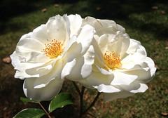 Hearts of Gold_Adelaide_0590 (Rikx) Tags: roses sunlight white flower rose yellow garden gold spring heart explore adelaide southaustralia 3f heartofgold fantasticflowers whiteroses